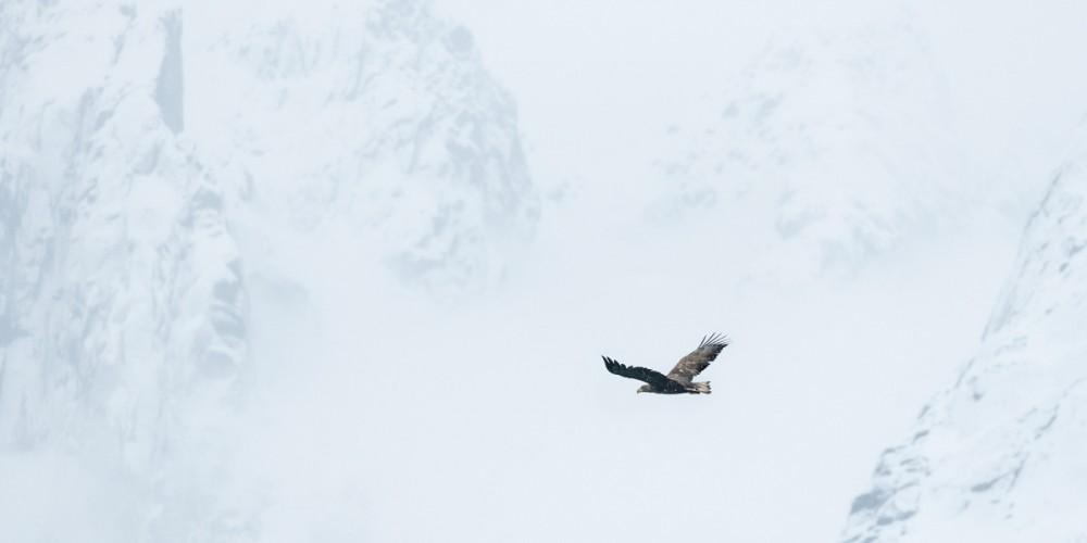 Fotografare le aquile di mare in Norvegia.