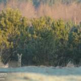 Foto di un bellissimo Capriolo immortalato in Polonia