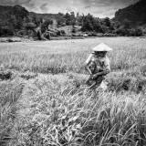 Laos - Allevamento sinergico di gamberi di acqua dolce nelle risaie.