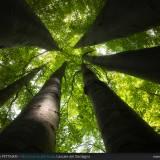 Raggiera di alberi