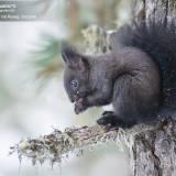 Fotografia scoiattolo comune in val roseg, svizzera-