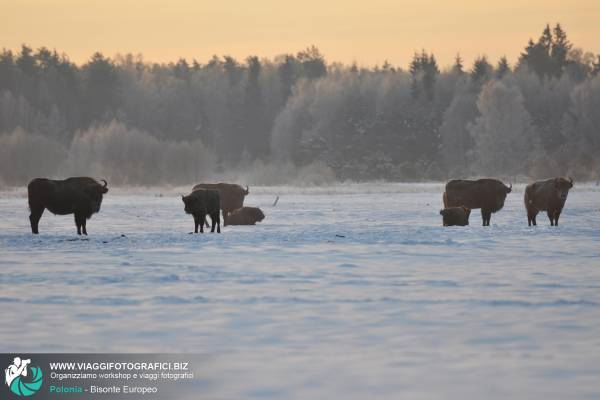 Bisonti Europei in Polonia, nella Foresta di Bialowieza