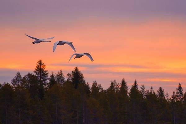 Cigno Selvatico: fotografie del bellissimo cigno selvatico