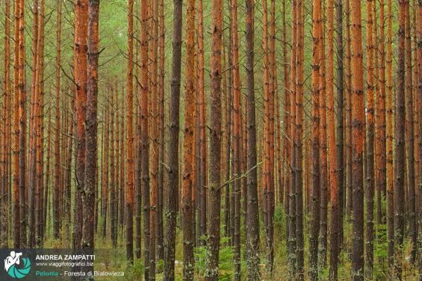 Fotografie della Foresta vergine di Bialowieza, Polonia