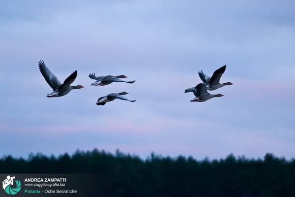 Fotografiamo le Oche Selvatiche in volo