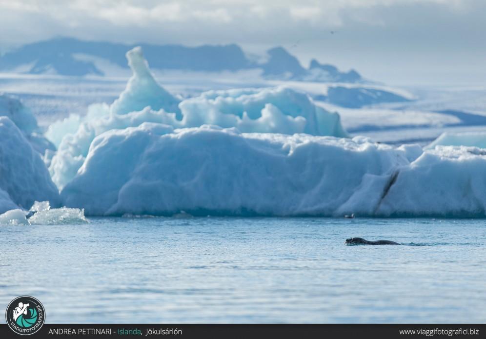 Foche alla laguna glaciale