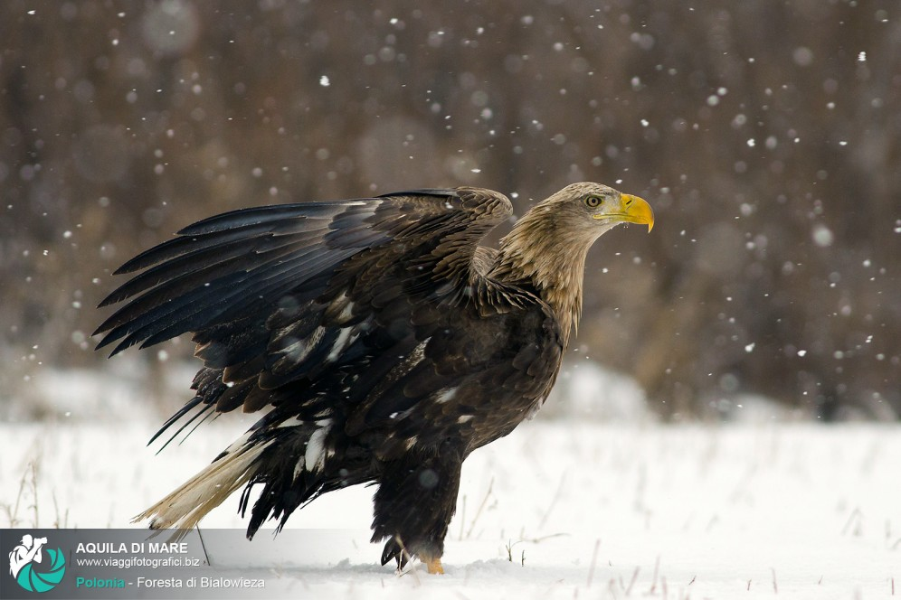 Aquila di mare sotto la neve.
