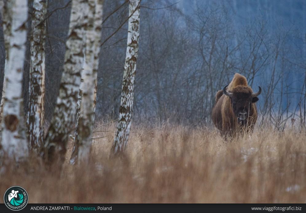Il Bisonte fotografato nella foresta di Bialowieza in Polonia