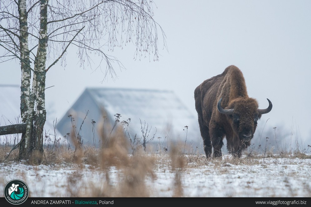 Un bisonte fotografato nella Foresta di Bialowieza durante un viaggio naturalistico!