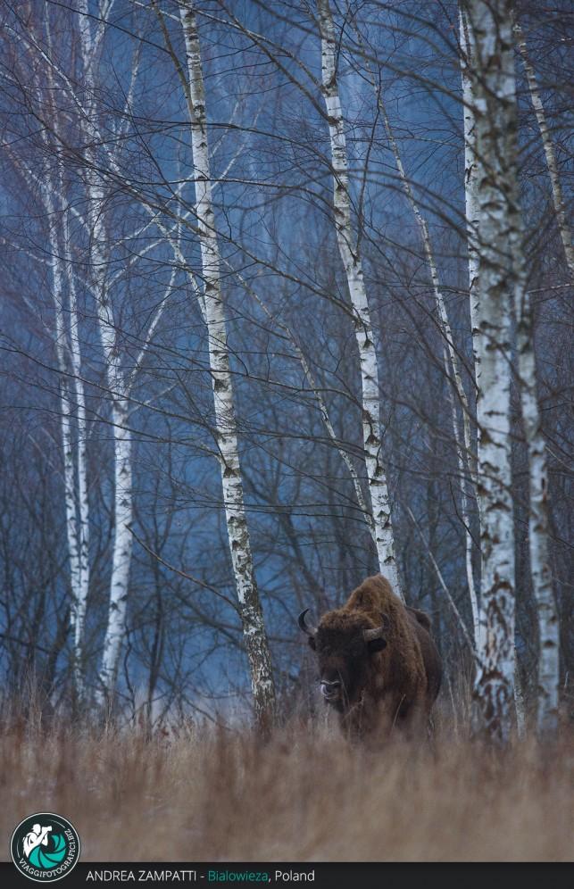 Bisonte immortalato a Bialowieza nella foresta durante il viaggio fotografico naturalistico Wild Poland
