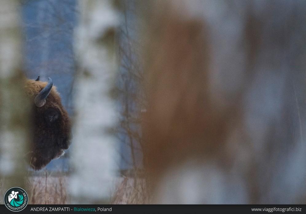Particolare dell'enorme testa di un bisonte europeo, ambientato nella grande foresta di Bialowieza in Polonia
