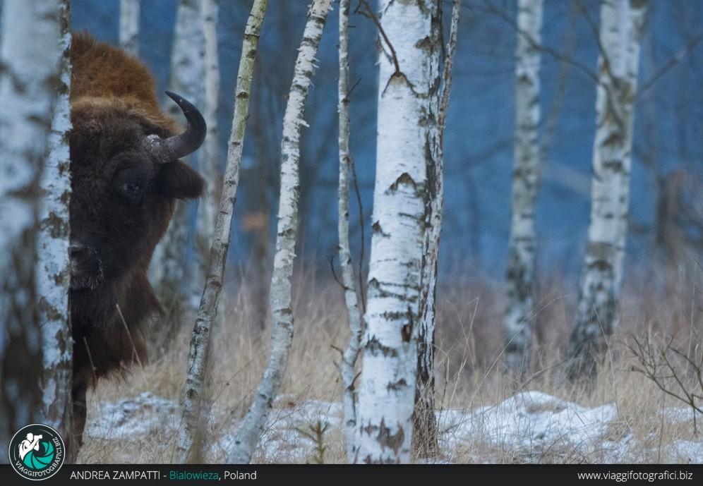 Un bel ritratto di un esemplare di Bisonte Europeo
