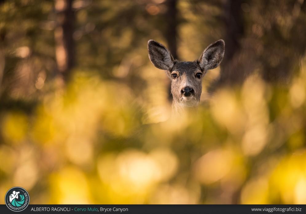 Cervo Mulo al Grand Canyon