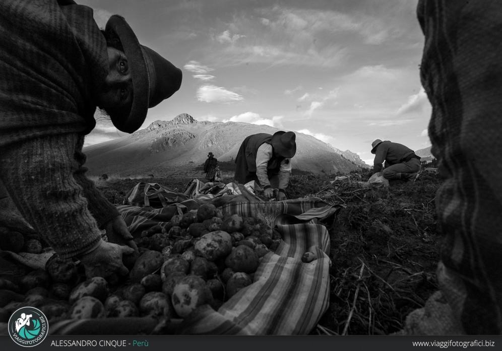 Donne che raccolgono le patate nella valle sacra.