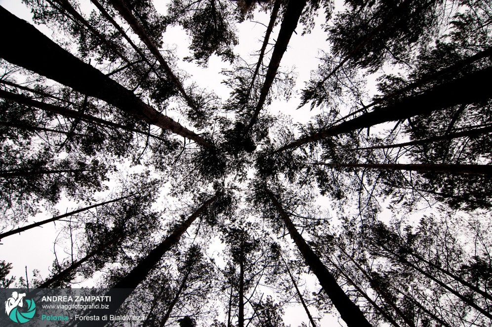 Fotografia dei tantissimi alberi che vivono nella foresta di Bialowieza, in Polonia
