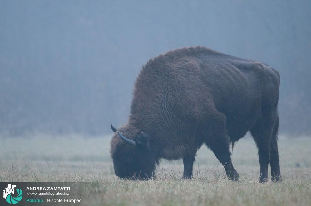 Foto di un bisonte europeo in Polonia