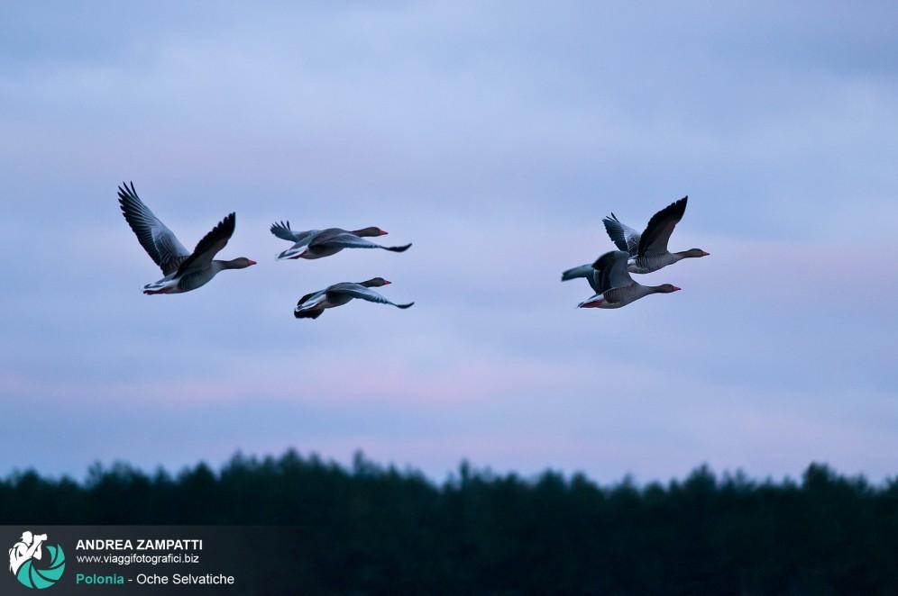 Foto di alcune oche selvatiche in volo nel Parco Nazionale di Biebrza, Polonia