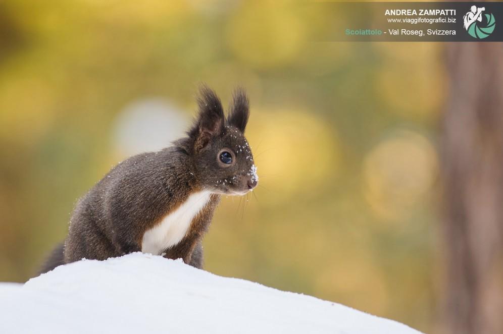 Fotografia scoiattolo val roseg.