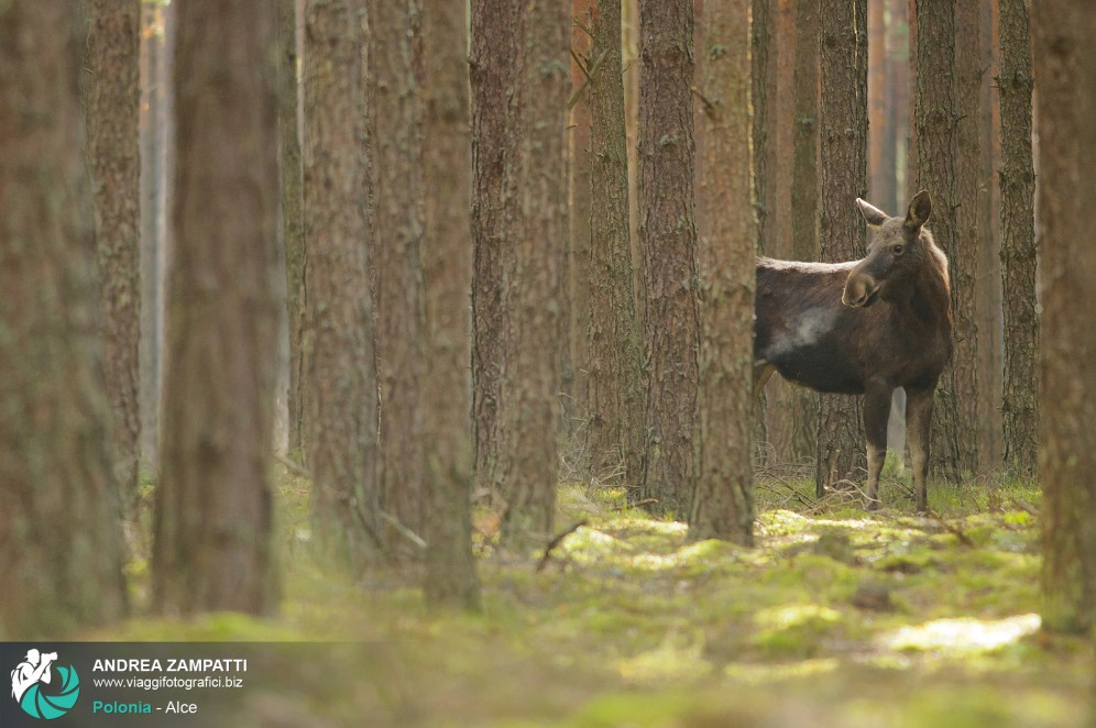 Esemplare di Alce in Polonia nel Parco Nazionale di Biebrza