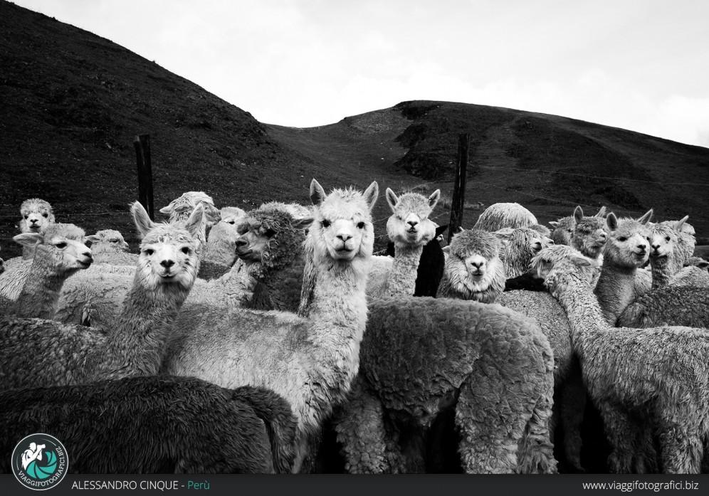 Gruppo di lama in alta montagna.