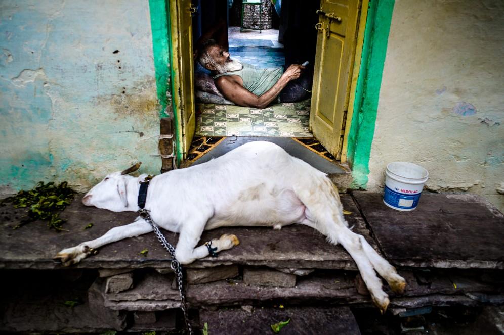India pecora in gravidanza in un villaggio di periferia a Jaipur.