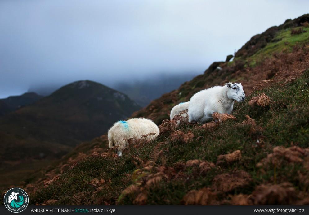 Pecore sull'Isola di Skye