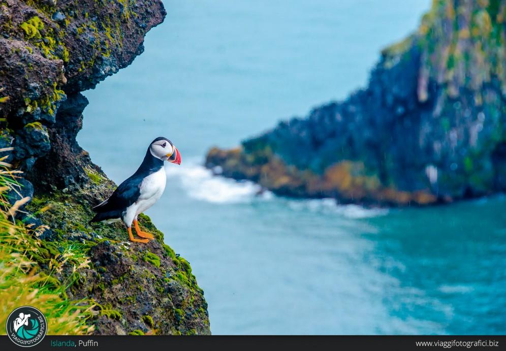 Puffin Islanda
