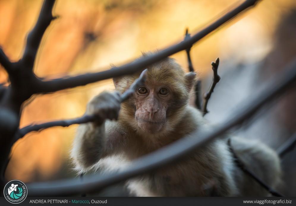 Scimmia di Ouzoud