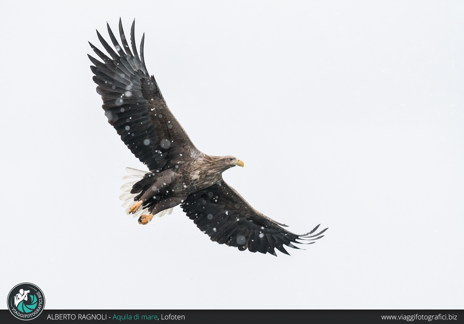Aquila di mare in Norvegia