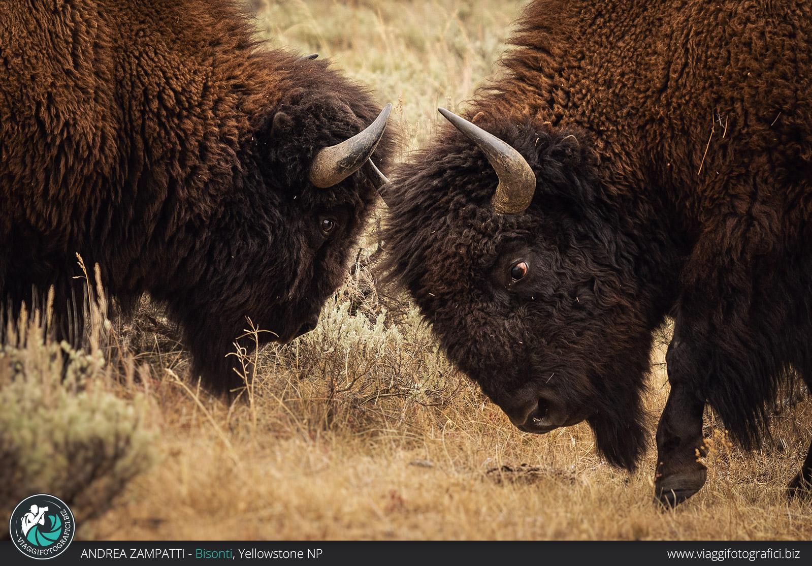 Fotografie di Bisonti a Yellowstone