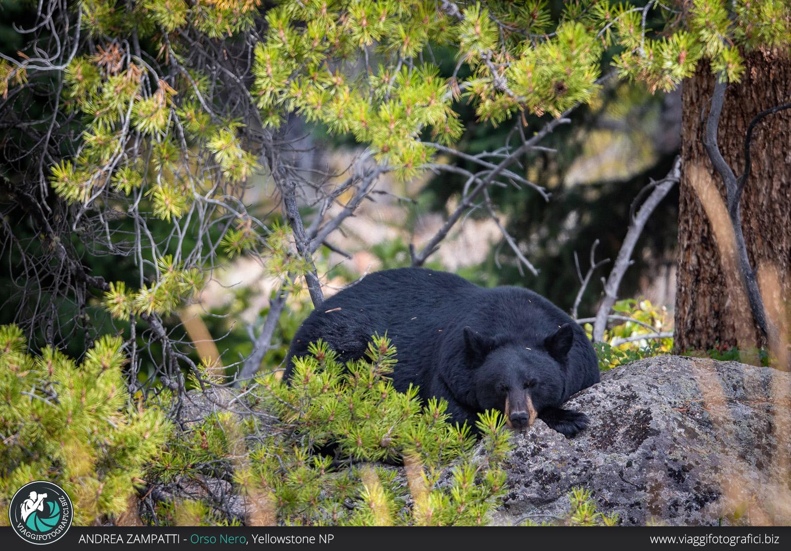 Orso nero dormiente a Yellowstone