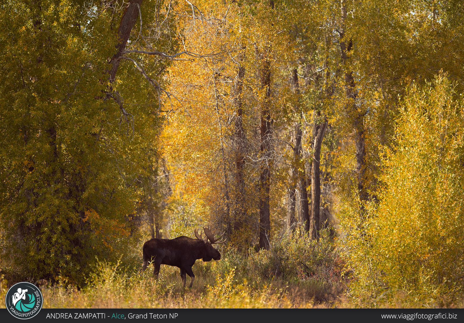 ALce americano nel Grand Teton in autunno